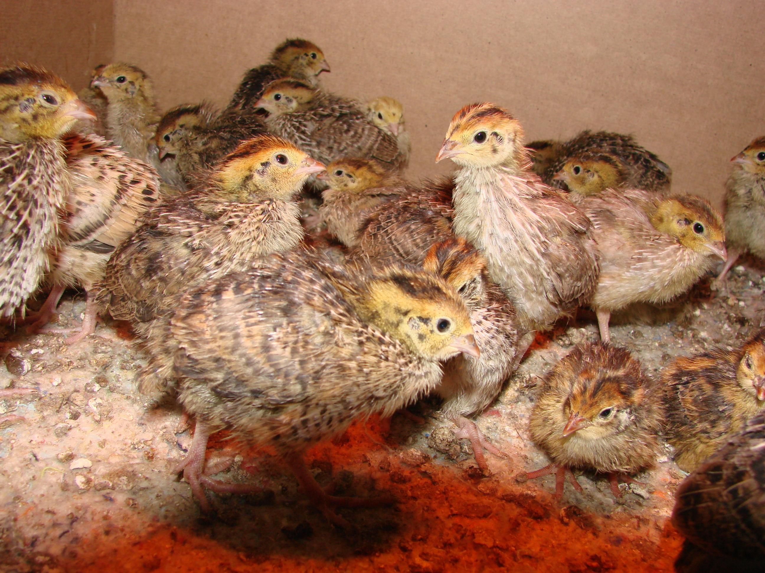Выращивание и содержание бройлерных цыплят: уход 69